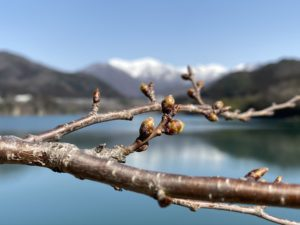 3月の赤谷湖畔の桜のツボミ