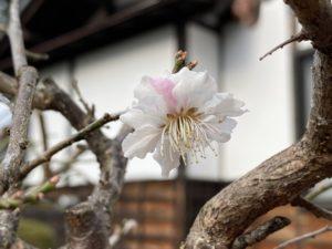 ラウンジ前の梅の花