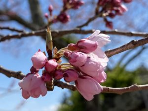 4月のサカサザクラ