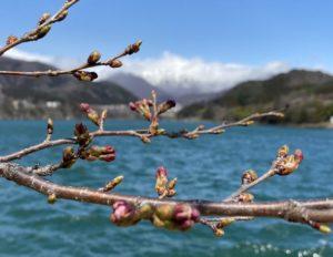 赤谷湖の桜のツボミ
